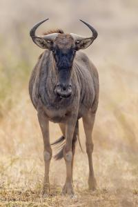 South Londolozi Private Game Reserve. Frontal View of Gnu by Fred Lord