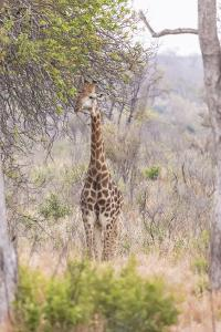 South Londolozi Private Game Reserve. Giraffe Stands under Tree by Fred Lord