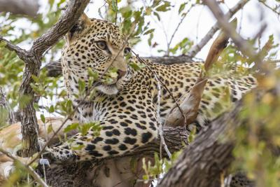 South Londolozi Private Game Reserve. Leopard in Tree with Kill