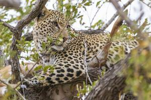 South Londolozi Private Game Reserve. Leopard in Tree with Kill by Fred Lord