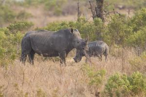 South Londolozi Private Game Reserve. Rhinoceros Mother and Offspring by Fred Lord
