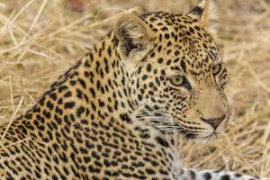 South Ngala Private Game Reserve. Close-up of Adult Leopard by Fred Lord