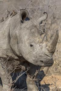 South Ngala Private Game Reserve. Close-up of White Rhino by Fred Lord