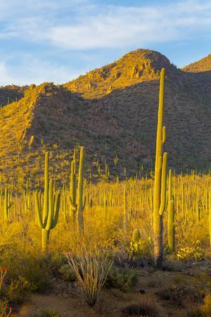 USA, Arizona, Tucson. Desert sunset in Saguaro National Park.