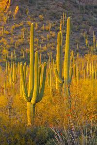 USA, Arizona, Tucson. Desert sunset in Saguaro National Park. by Fred Lord