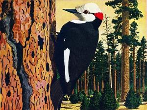White Headed Woodpecker by Fred Ludekens