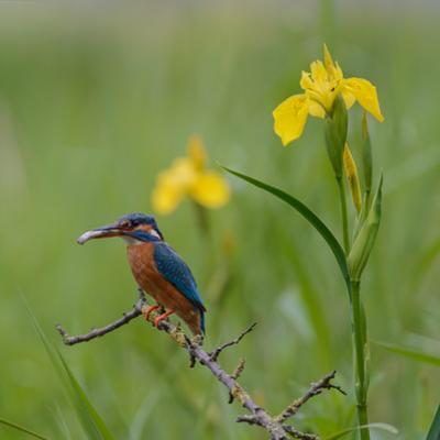 European Kingfisher with Prey with Yellow Iris Flowers