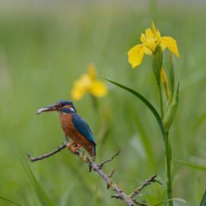 European Kingfisher with Prey with Yellow Iris Flowers by Fred Van Wijk