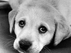 A Labrador puppy, 1978 by Freddie Reed O.B.E.