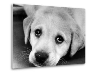 A Labrador puppy, 1978