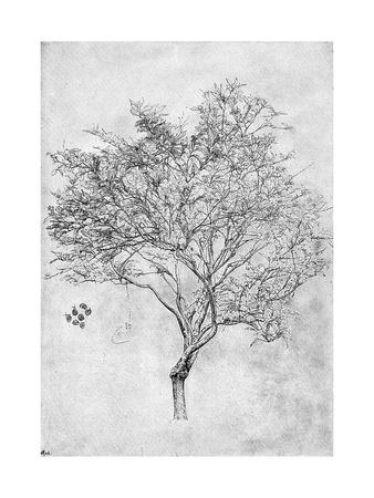 Study of a Lemon Tree, 1899