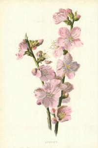 Almond by Frederick Edward Hulme