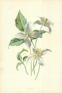 Clematis by Frederick Edward Hulme