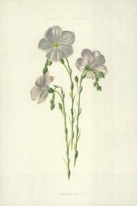 Common Flax by Frederick Edward Hulme
