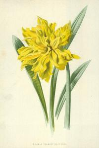 Double Trumpet Daffodil by Frederick Edward Hulme