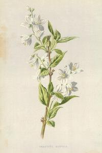 Graceful Deutzia by Frederick Edward Hulme