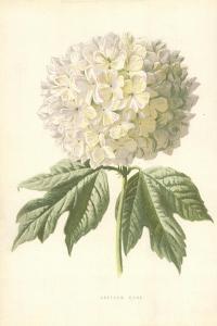 Guelder Rose by Frederick Edward Hulme