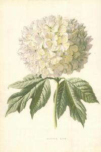 Guelder Rose by Frederick Edward Hulme