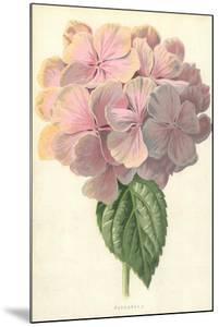 Hydrangea by Frederick Edward Hulme