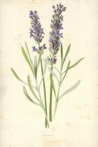 Lavender by Frederick Edward Hulme