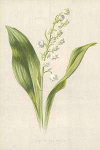 Lily of the Valley by Frederick Edward Hulme