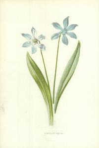 Siberian Squill by Frederick Edward Hulme