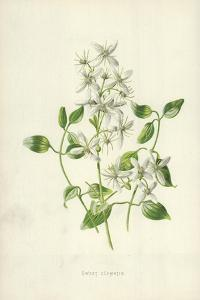 Sweet Clematis by Frederick Edward Hulme