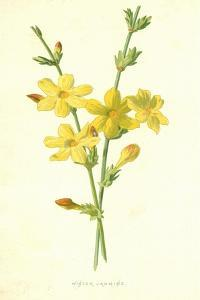 Winter Jasmine by Frederick Edward Hulme