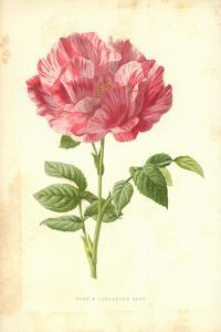 York and Lancaster Rose by Frederick Edward Hulme