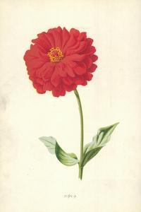 Zinnia by Frederick Edward Hulme