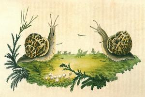 Snails by Frederick P. Nodder