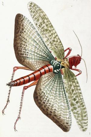 Egyptian Locust, 1790