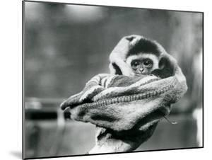 A Baby Gibbon Wrapped in a Blanket and Held in One Hand at London Zoo, June 1922 by Frederick William Bond
