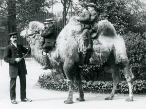 A Bactrian Camel Ride at London Zoo, C.1913 by Frederick William Bond