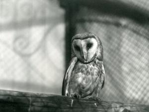 A Barn Owl at London Zoo, January 1922 by Frederick William Bond