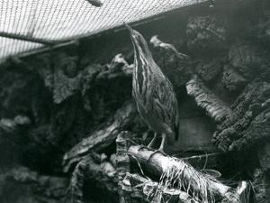 A Bittern at London Zoo, June 1922 by Frederick William Bond