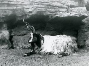 A Curly-Horned Goat at London Zoo, June 1922 by Frederick William Bond