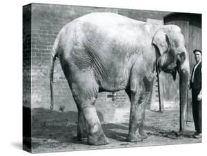 A Female Indian Elephant 'Nellie', with Keeper Waterson at London Zoo, April 1914 by Frederick William Bond
