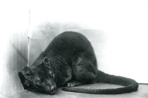 A Fossa at London Zoo, November 1912 by Frederick William Bond