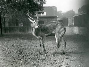 A Lechwe at London Zoo, September 1921 by Frederick William Bond