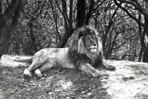 A Lion Lying Down Photographed at Whipsnade Zoo, 1935 by Frederick William Bond