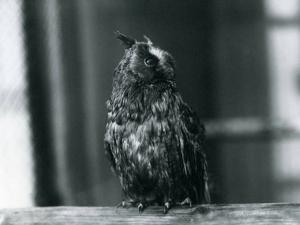 A Long-Eared Owl at London Zoo, January 1922 by Frederick William Bond