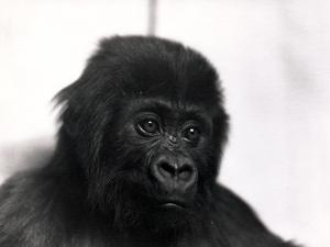 A Portrait of the Gorilla 'Meng', 1939 by Frederick William Bond