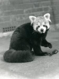 A Red Panda Sitting at London Zoo, 1917 by Frederick William Bond