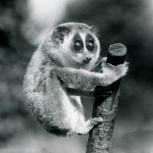 A Slender Loris holding on to the end of a branch, London Zoo, August 1926 (b/w photo) by Frederick William Bond