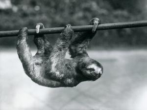 A Three-Toed Sloth Slowly Makes its Way Along a Pole at London Zoo, C.1913 by Frederick William Bond