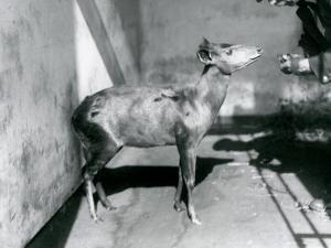 An Abbott's Duiker at London Zoo, April 1922 by Frederick William Bond
