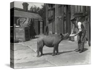 An African Rhinoceros, Kathlene, and Keeper Harry Warryck at Zsl London Zoo, September 1928 by Frederick William Bond