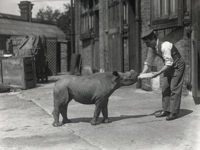 An African Rhinoceros, Kathlene, and Keeper Harry Warryck at Zsl London Zoo, September 1928