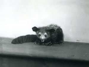 An Aye-Aye at London Zoo, October, 1913 by Frederick William Bond